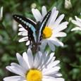 フランス菊(マーガレット)にルリタテアゲハ